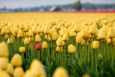 Skagit Tulip